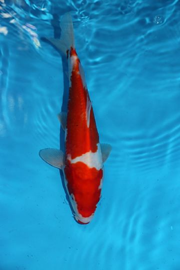"Doitsu Kohaku-Koi For Sale 12"" 0391"